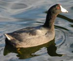 Photo of an American Coot