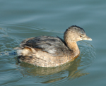 Photo of a pied grebe