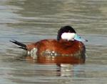Photo of a ruddy duck